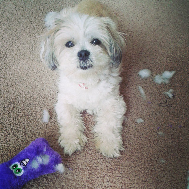 I guess she got mad at the toy. #doglover #ilovemydog #doglover #dogs